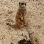 Our favourite Meerkat at the Nature Centre