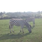 The zebras!