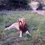 Lion during game drive