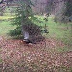 resident peacock!