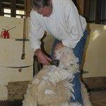 Shearing Demonstration