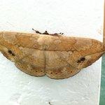 Dead-leaf-like moth