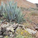 The native aloe you see everywhere is on of the first things to grow in the volcanic rock.