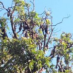 Bats in the trees across the road