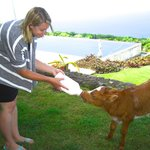 Guest feeding one of the orphan calves