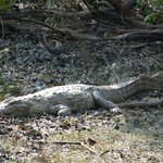 Crocodile near Tadoba lake