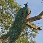 pauw tijdens de safari in Uda Walawe National Park