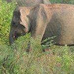 Olifant tijdens de safari in Uda Walawe National Park