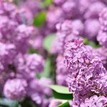 Lilacs around the grounds