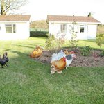 Chickens at Meadow Lakes