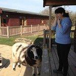Sheep Roaming