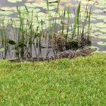 One of the alligators in the marsh.