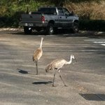 Sand hill cranes walking through the parking lot.