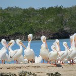 White Pelicans photographed on our Everglades Area Tour