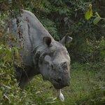 facing a rhino
