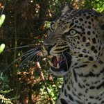 Magnificent moment with the Leopard (photo by Ronel of Forest Edge)
