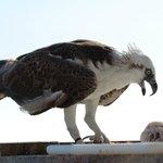 Pet Sea Eagle
