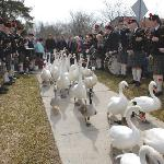 Stratford's Annual Spring Swan Release Parade