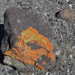 There was a lot of rocks with colorful lichen on it.