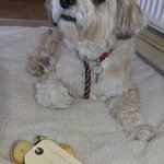 Bailey with his Bonio gift from Dougal