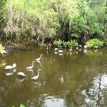 Fakahatchee Gator Pond