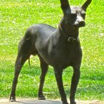 One of the estate's pre-Columbian Mexican hairless dogs