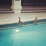 Duckies by the pool on a rainy day!