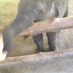 Baby elephant playing with my hand