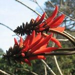 The Coral Tree Flower in Winter.