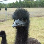 Curious young emu