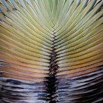 Fantail Palm