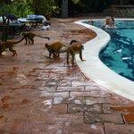 Monkeys on parade @ the pool!!