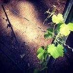 Our small home vineyard is starting to grow!
