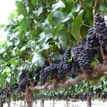 Our Pinot Noir is sourced from the Santa Lucia Highlands.
