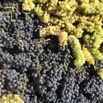 We make a Cote Rotie style co-fermented Syrah and 4% Viognier