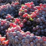 Grenache at picking in the Love Ranch Vineyard.
