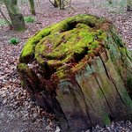 Moss on a tree stump