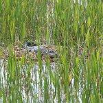 Alligator on nest.