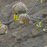 Weaver birds dart in an out of their nest