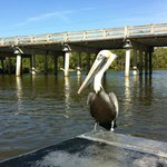 This pelican knows that it will be getting a fish treat.