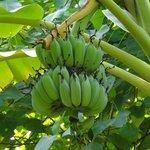 Bananen vom eigenen Garten