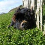 Demelza the friendly pig