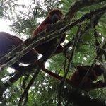 red howler monkeys (family)