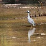 zYellow Crowned Night Heron