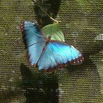 Morpho butterfly in the gardens, quite nice!