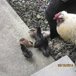 Chickens and baby chicks outside store