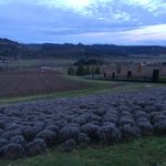 King Estate Vineyards and lavender fields