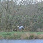 Heron by lake