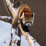 雪とレッサーパンダ
