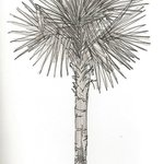 Drawing of a palm tree from the terrace
